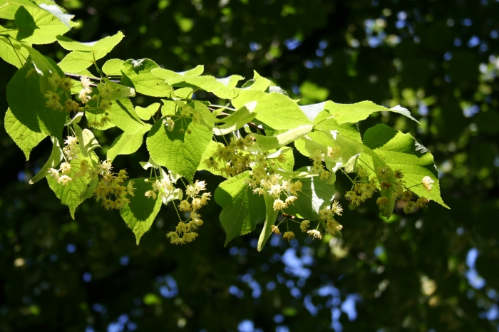 Lime_tree.jpg